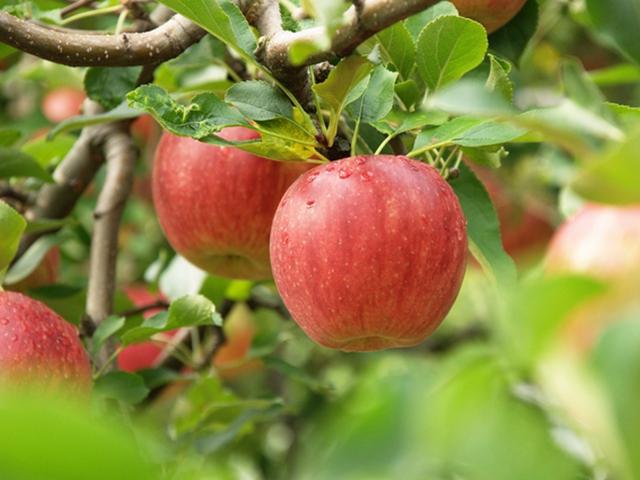 えべしのりんご